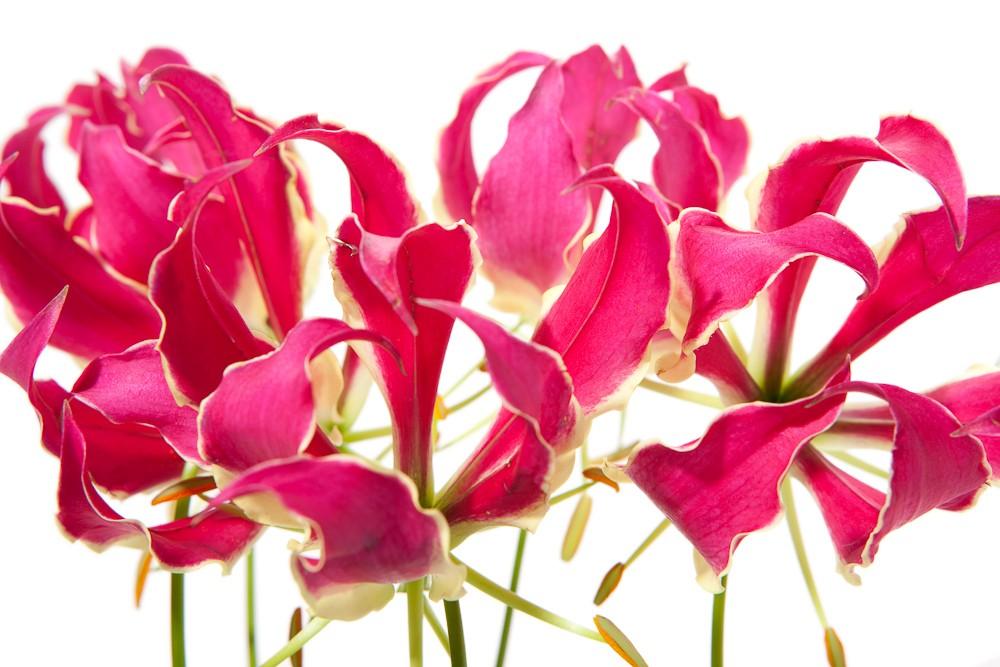 Grower Of The Week Crown Jewels Gloriosa