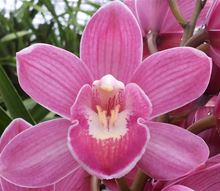 Cymbidium (mini)