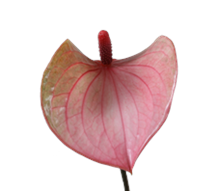 "Anthurium ""Lovely"""
