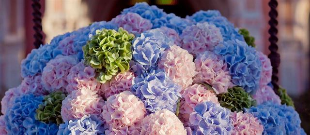 End of the Hydrangea season at Vollering