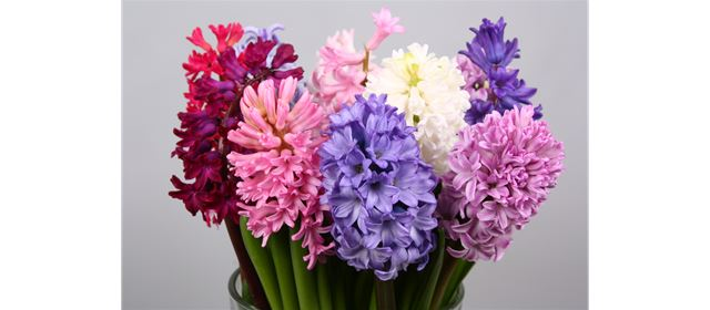New season of Hyacinths from G. de Wit