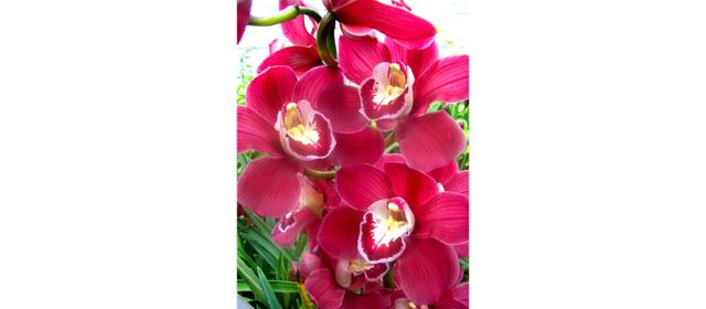 Grower of the week! Gebr. Bac Cymbidium