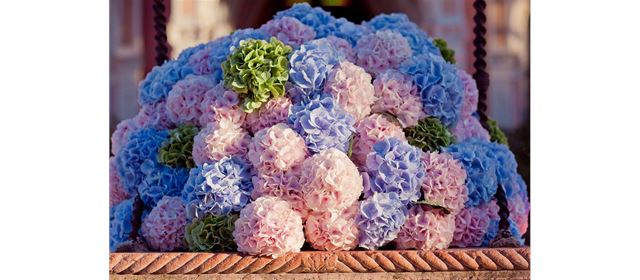 Back in season! Hydrangea from Vollering