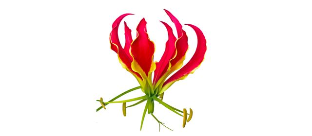 Grower of the week! Crown Jewels Gloriosa