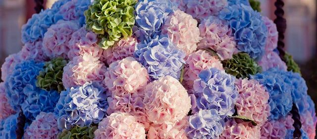 Grower of the week! Vollering Hydrangea