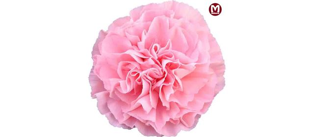 Grower of the week! Mediaverdi with Carnations
