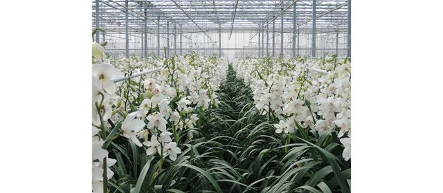 Grower of the week! Gebr. Bac Orchids