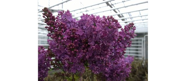 Grower of the week! Klaas Joren Lilacs