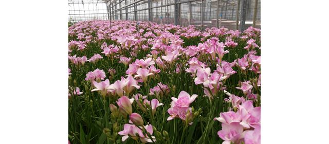 Grower of the week Akerboom Freesia