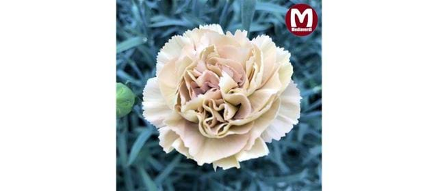 Back in production! Carnations from Mediaverdi