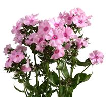Phlox light pink
