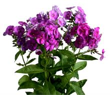Phlox purple