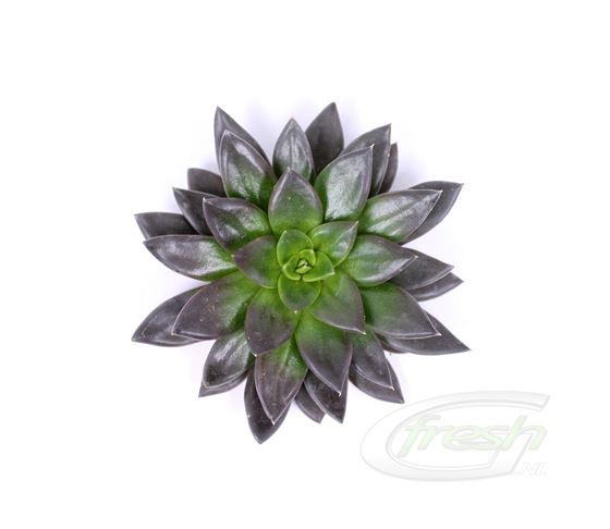Echeveria Black new