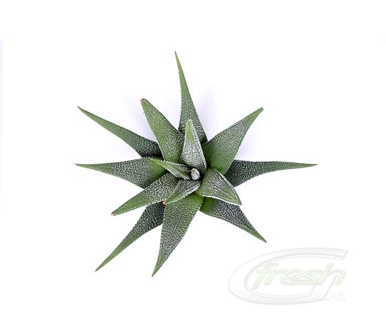 Haworthia faciata concolor - G-fresh