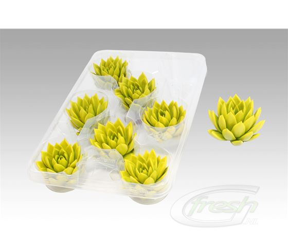 Echeveria yellow