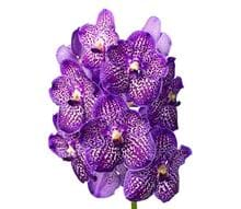 Sunanda Exotic purple